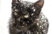 Black cat covered in snowflakes.